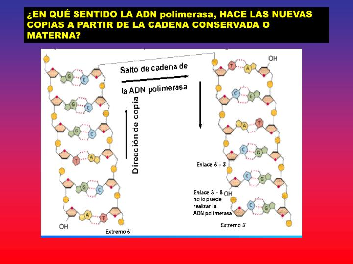 ¿EN QUÉ SENTIDO LA ADN polimerasa, HACE LAS NUEVAS COPIAS A PARTIR DE LA CADENA CONSERVADA O MATERNA?