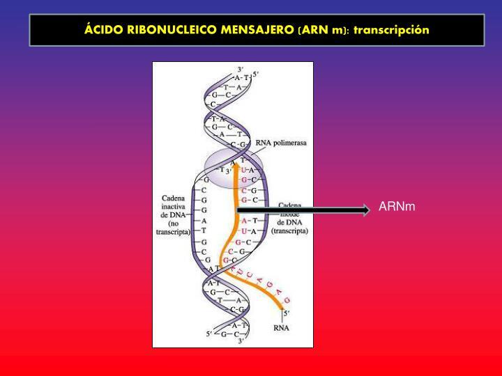 ÁCIDO RIBONUCLEICO MENSAJERO (ARN m): transcripción
