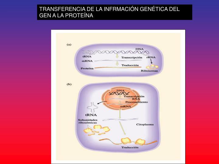 TRANSFERENCIA DE LA INFRMACIÓN GENÉTICA DEL GEN A LA PROTEÍNA