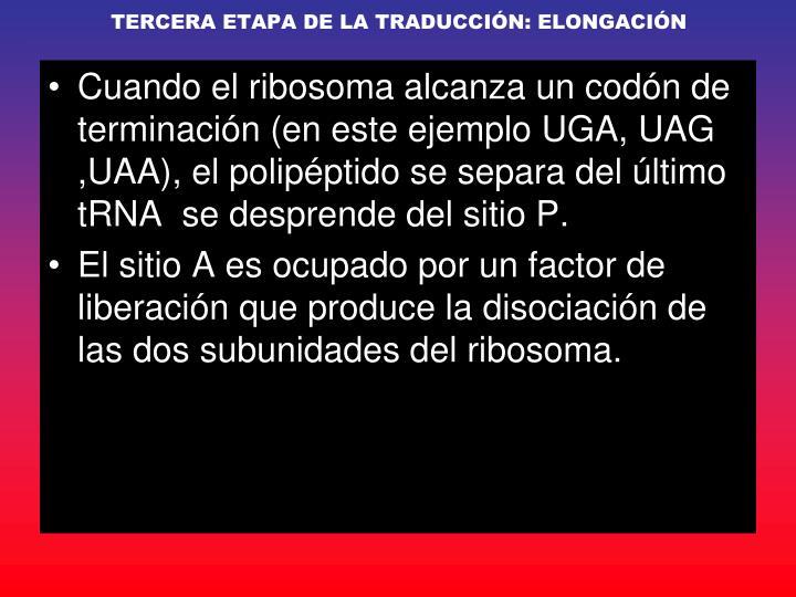 TERCERA ETAPA DE LA TRADUCCIÓN: ELONGACIÓN
