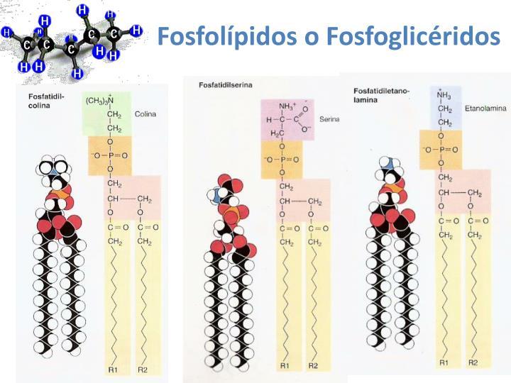 Fosfolípidos o Fosfoglicéridos