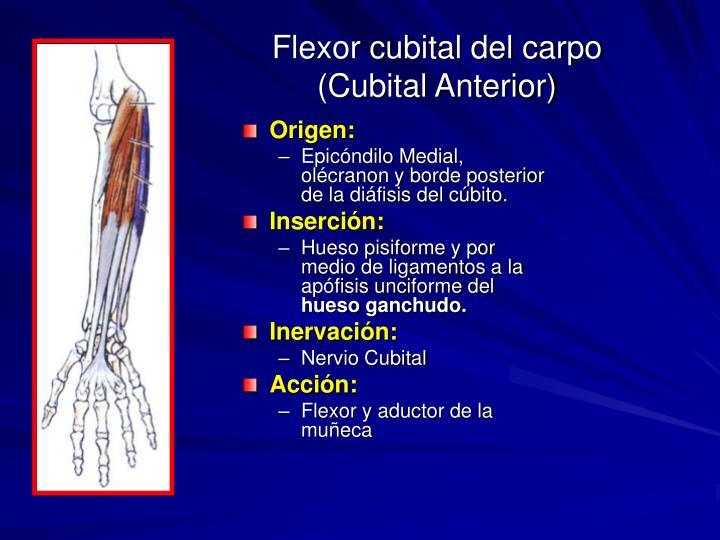 Flexor cubital del carpo (Cubital Anterior)