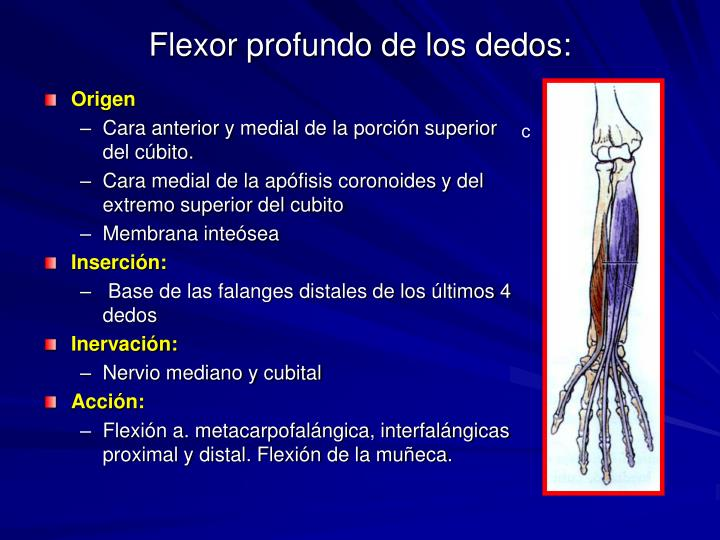 Flexor profundo de los dedos: