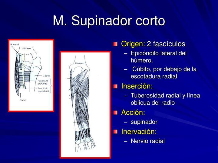 M. Supinador corto