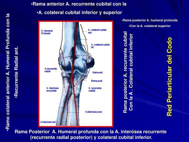 Rama anterior A. recurrente cubital con la