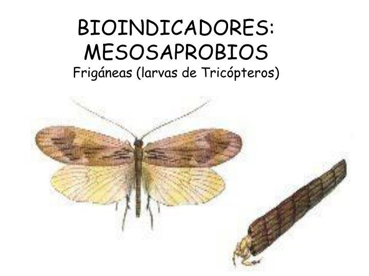 BIOINDICADORES: MESOSAPROBIOS