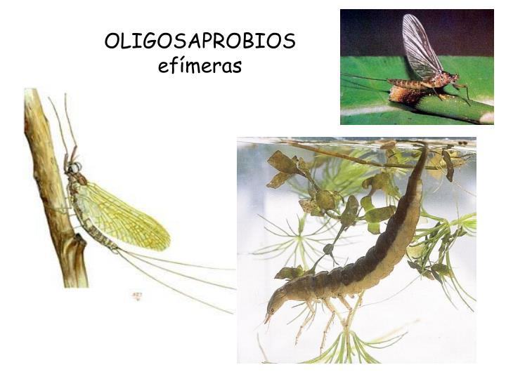 OLIGOSAPROBIOS