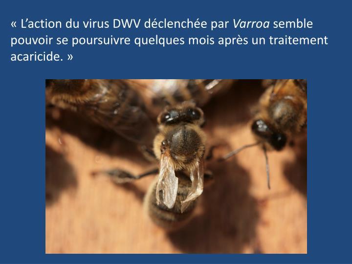 «L'action du virus DWV déclenchée par