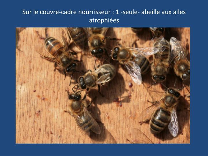 Sur le couvre-cadre nourrisseur : 1 -seule- abeille aux ailes atrophiées