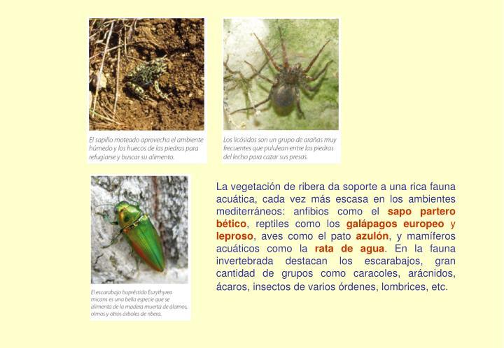 La vegetación de ribera da soporte a una rica fauna acuática, cada vez más escasa en los ambientes mediterráneos: anfibios como el
