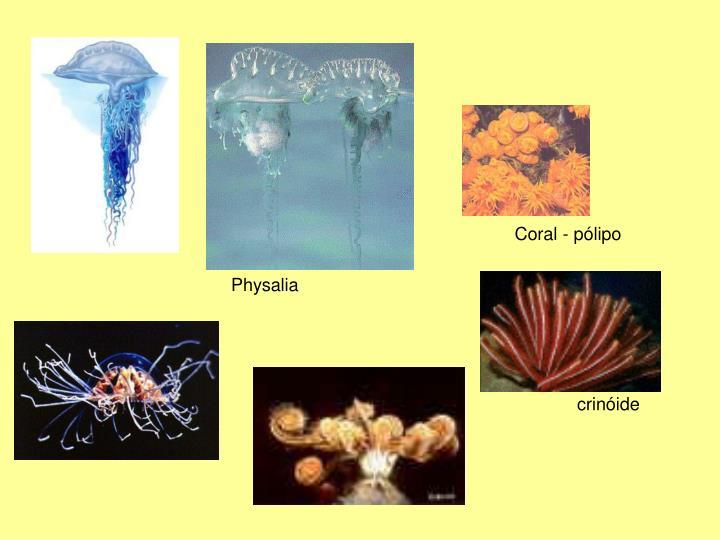 Coral - pólipo