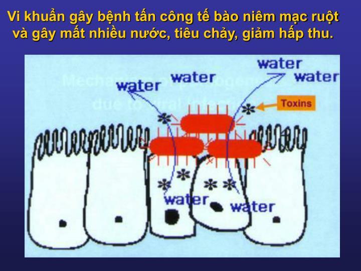 Vi khuẩn gây bệnh tấn công tế bào niêm mạc ruột và gây mất nhiều nước, tiêu chảy, giảm hấp thu.
