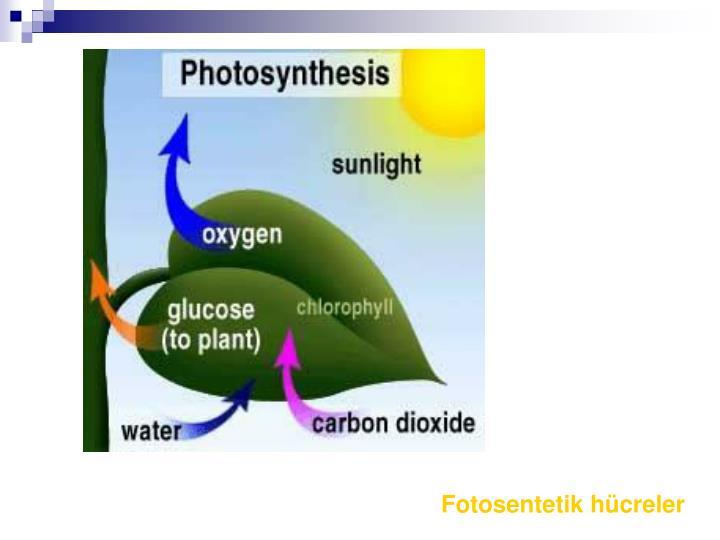 Fotosentetik hücreler