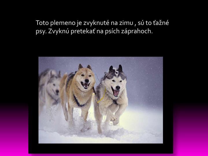 Toto plemeno je zvyknuté na zimu , sú to ťažné psy. Zvyknú pretekať na psích záprahoch.
