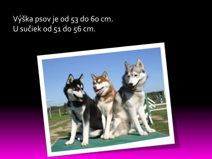 Výška psov je od 53 do 60 cm.