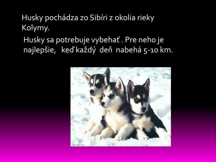 Husky pochádza zo Sibíri z okolia rieky Kolymy.