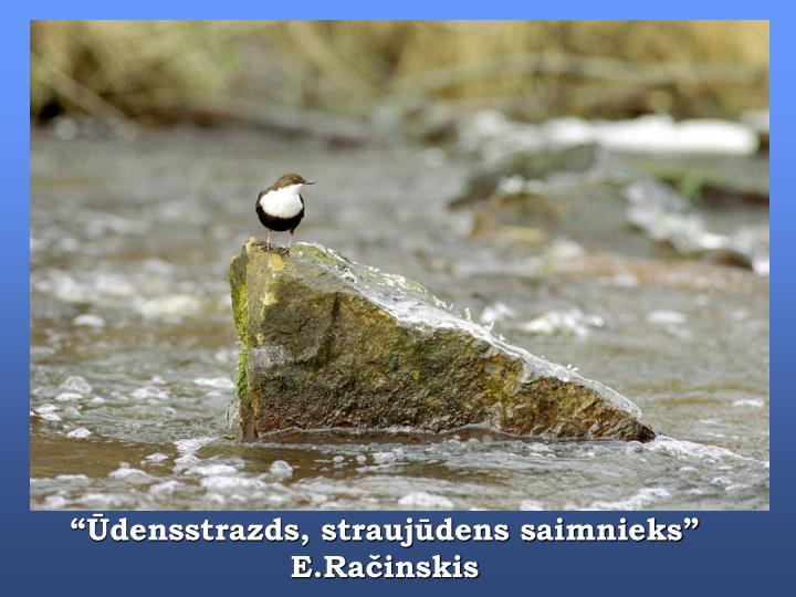 """""""Ūdensstrazds, straujūdens saimnieks"""" E.Račinskis"""