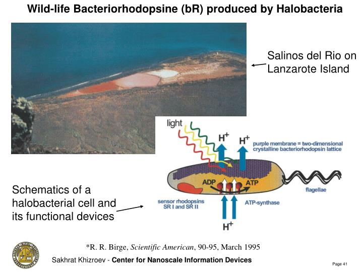 Wild-life Bacteriorhodopsine (bR) produced by Halobacteria