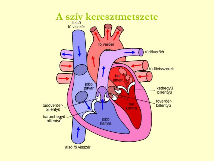 A szív keresztmetszete