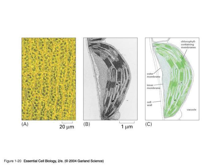 01_20_Chloroplasts.jpg