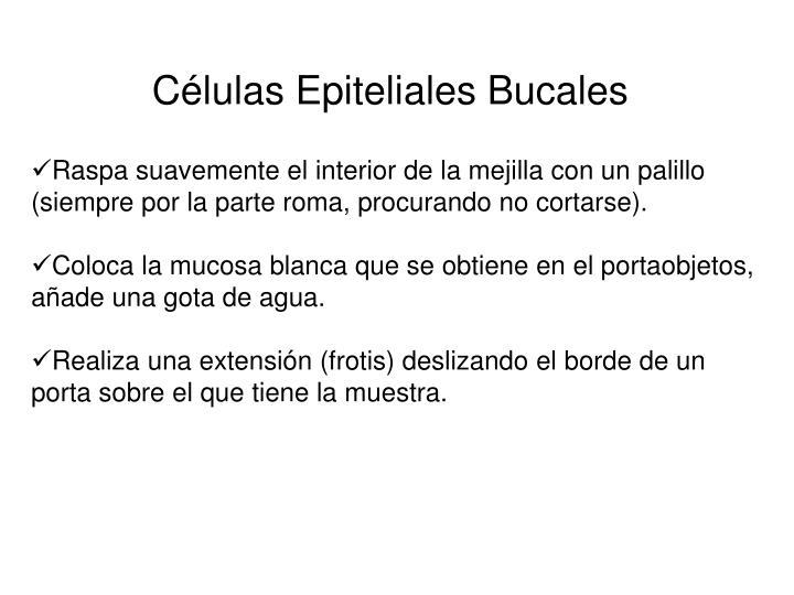 Células Epiteliales Bucales
