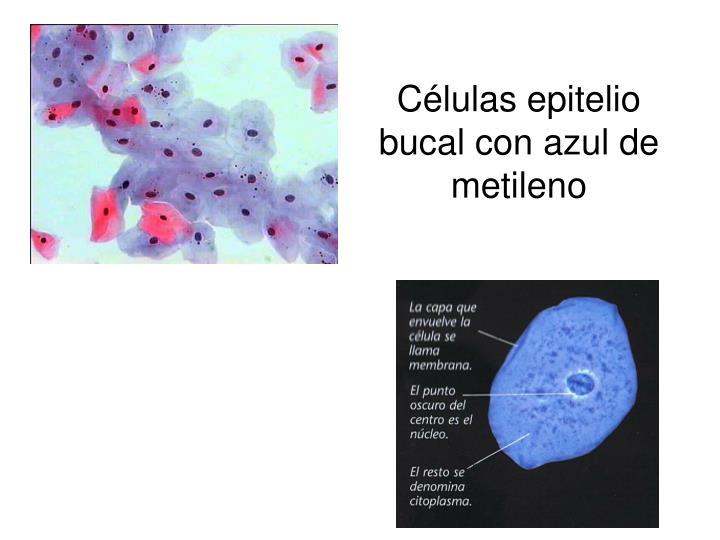 Células epitelio bucal con azul de metileno