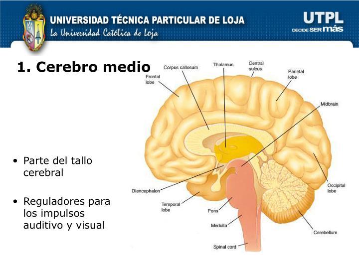 1. Cerebro medio