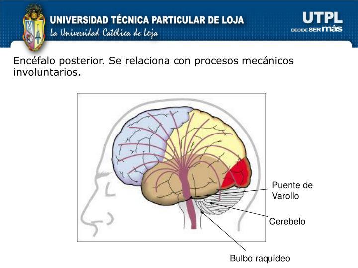 Encéfalo posterior. Se relaciona con procesos mecánicos involuntarios.
