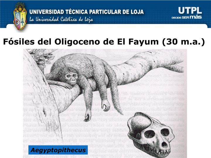 Fósiles del Oligoceno de El Fayum (30 m.a.)