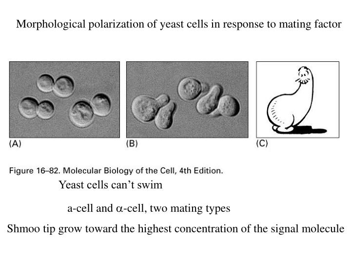 Morphological polarization of yeast cells in response to mating factor
