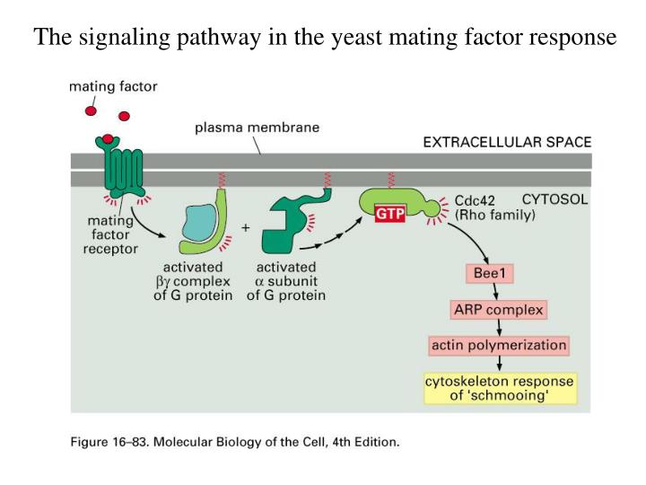 The signaling pathway in the yeast mating factor response