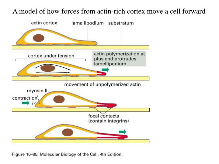 A model of how forces from actin-rich cortex move a cell forward