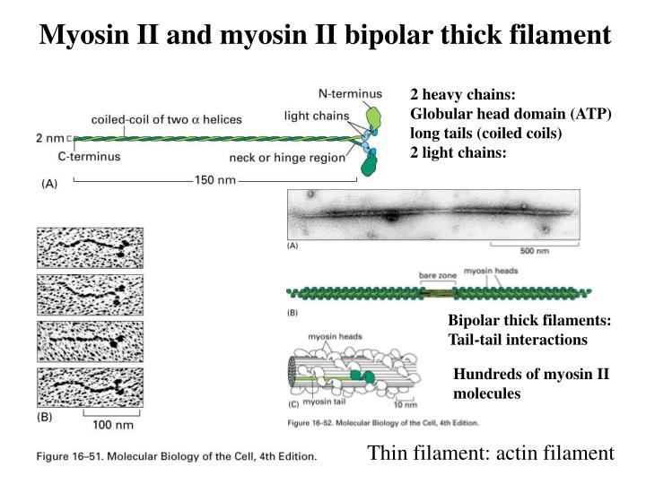 Myosin II and myosin II bipolar thick filament