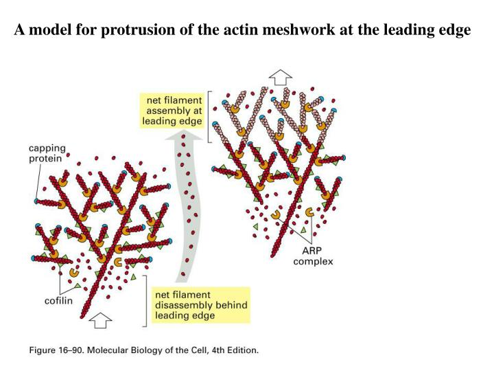 A model for protrusion of the actin meshwork at the leading edge