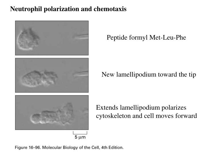 Neutrophil polarization and chemotaxis