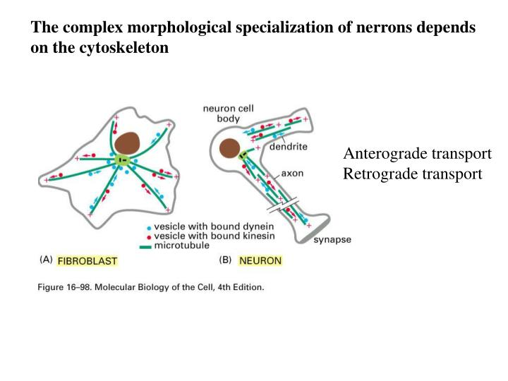 The complex morphological specialization of nerrons depends
