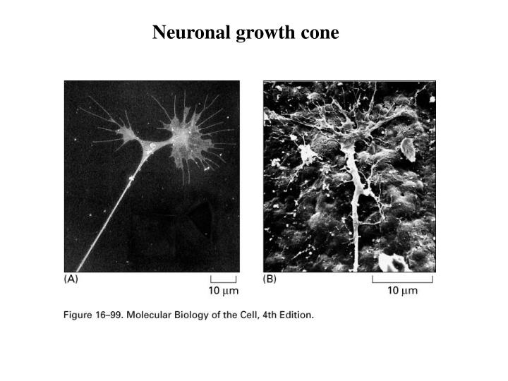 Neuronal growth cone