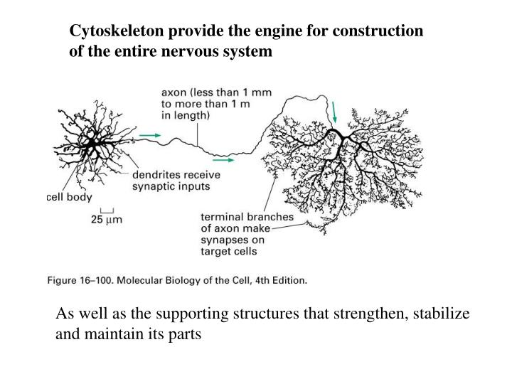 Cytoskeleton provide the engine for construction