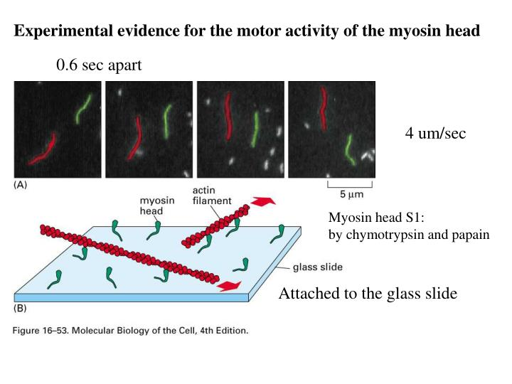 Experimental evidence for the motor activity of the myosin head