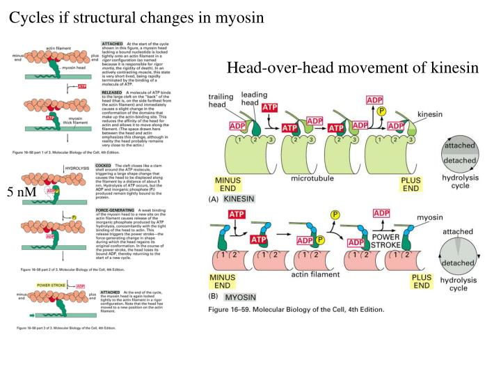 Cycles if structural changes in myosin