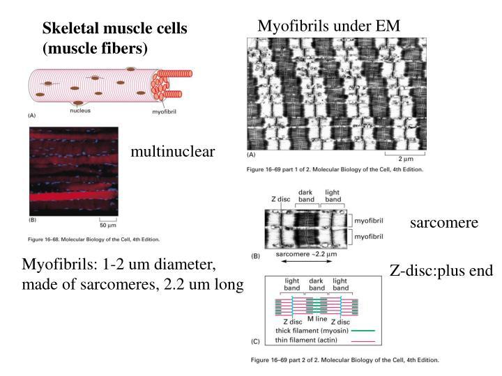 Myofibrils under EM