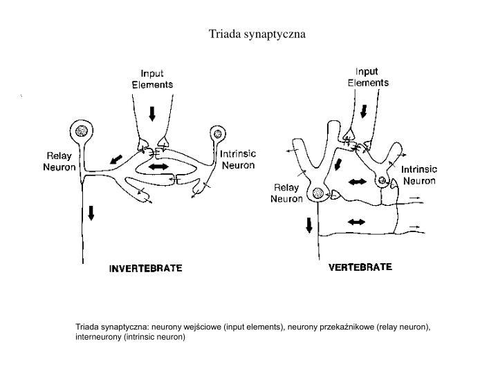 Triada synaptyczna