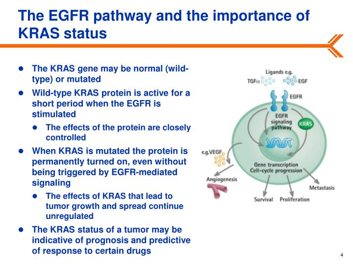 The EGFR pathway and the importance of