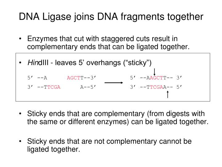 DNA Ligase joins DNA fragments together