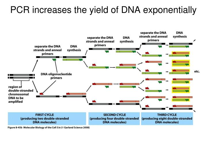 PCR increases the yield of DNA exponentially