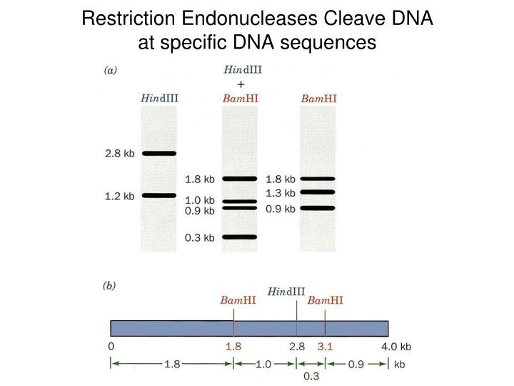 Restriction Endonucleases Cleave DNA