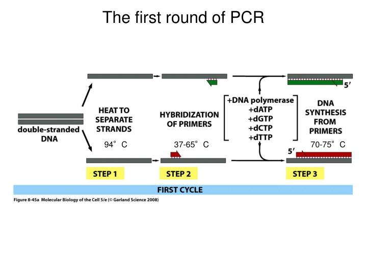 The first round of PCR