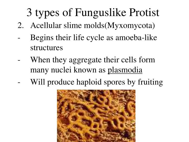 3 types of Funguslike Protist