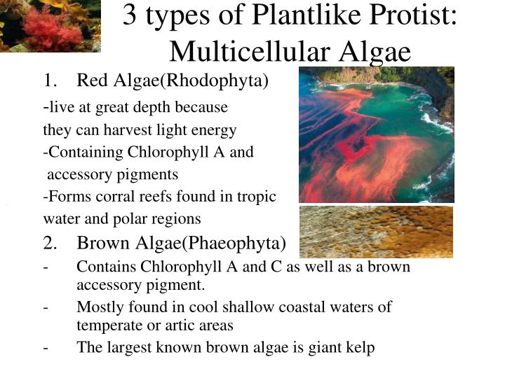 3 types of Plantlike Protist: Multicellular Algae