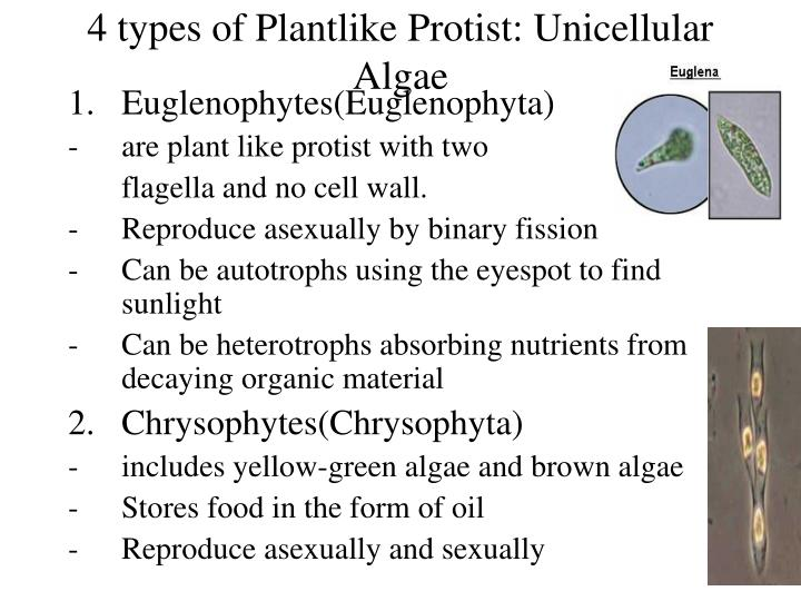 4 types of Plantlike Protist: Unicellular Algae